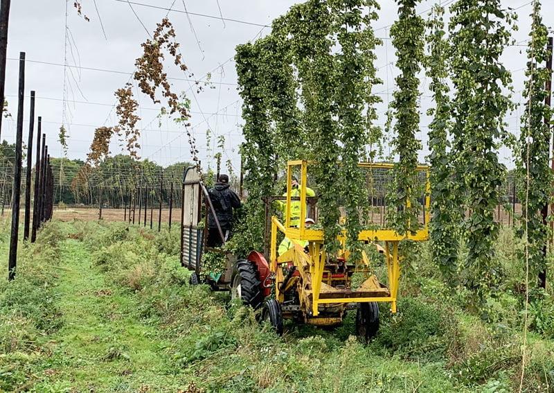 Hogs Back Brewery hop harvest
